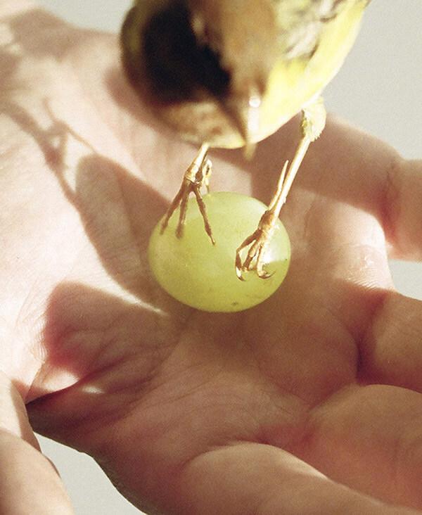 Simon Lehner - oiseau et raisin dans la main du Responsable du Site de Production Ruinart