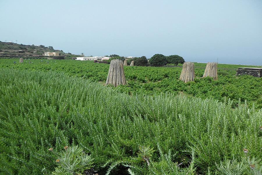 Des haies serrées de romarin entourent le vignoble de Pantelleria (c) G.A.-D.
