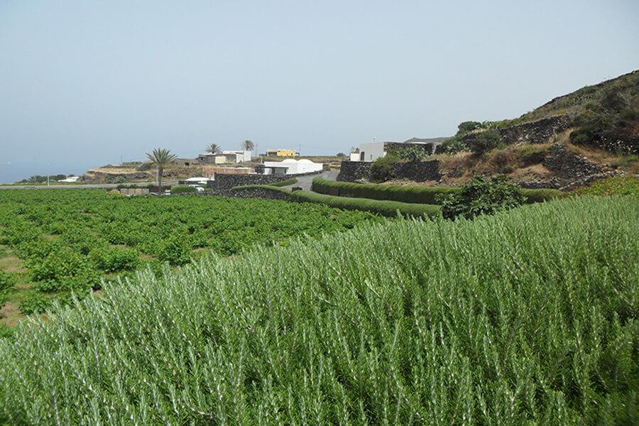 Pantelleria avec les haies de romarin et les dammusi au loin (c) G.A.-D.