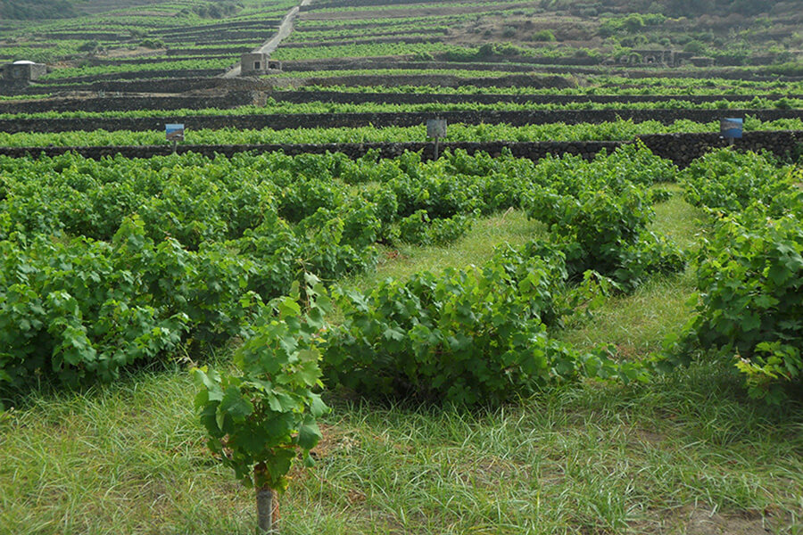 Pantelleria vue sur la vigne taillée proche du sol (c) G.A.-D.