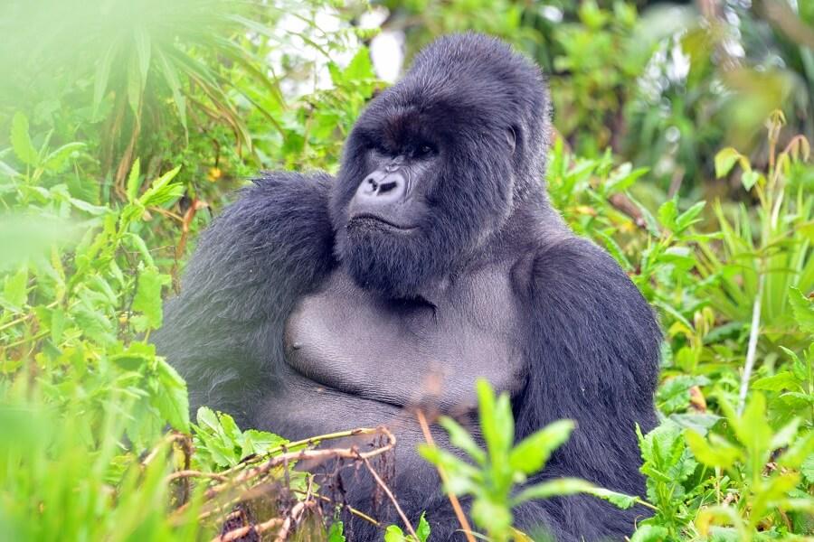 Gorille en son environnement une image forte du Rwanda (c) Roger Juillierat