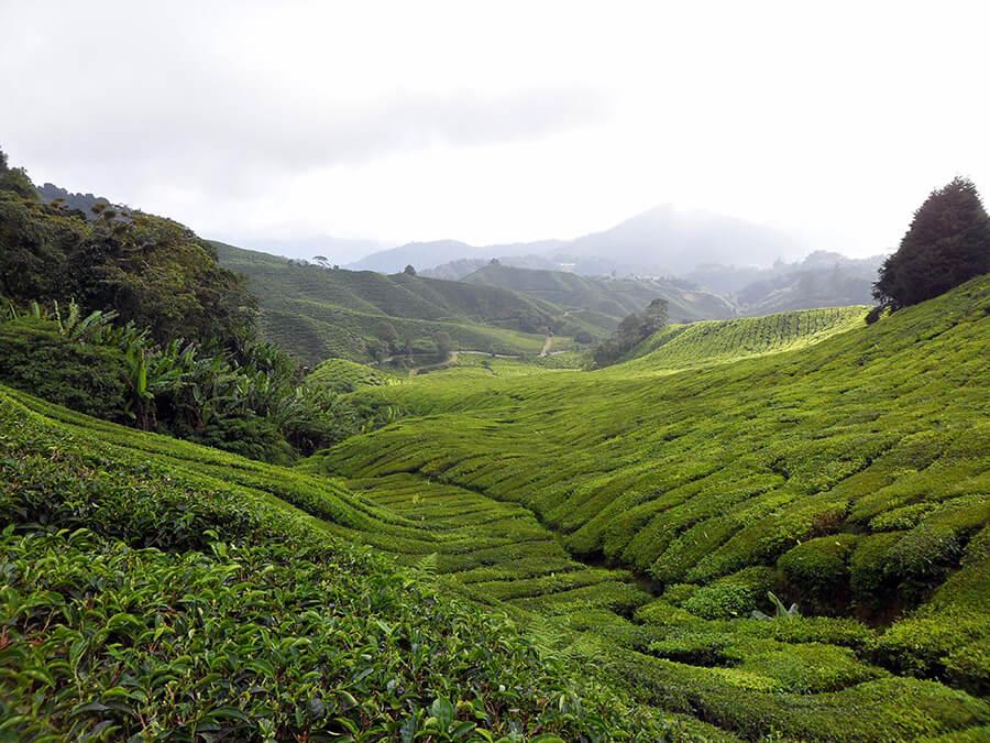 Cameron Highlands Plantation de thé à perte de vue