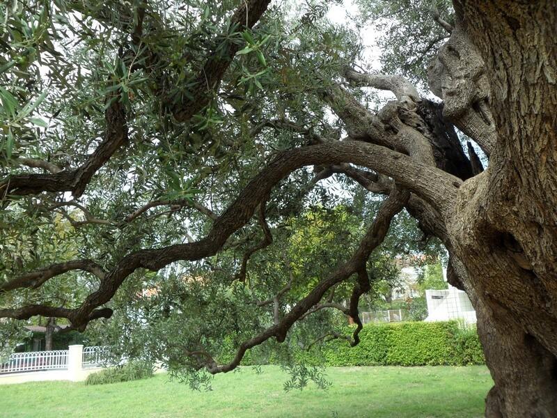 Une oliveraie séculaire qui a résisté au passage de l'Histoire et du temps (c)GAD