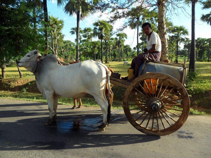 Très couleur locale le paysan sur sa charrette menée par des buffles (c)GAD