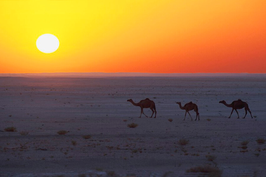 Traversée de chameaux au coucher de soleil sur le désert (c) OT Oman