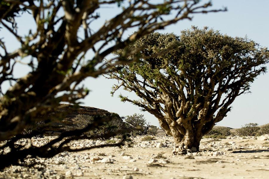 L'inestimable arbre à encens convoité par le monde entier de la Chine à l'Afrique © OT Oman