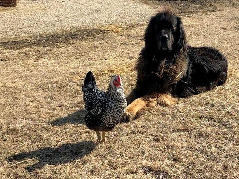 Séquence cohabitation, La poule et le chien vivent ici en parfaite harmonie