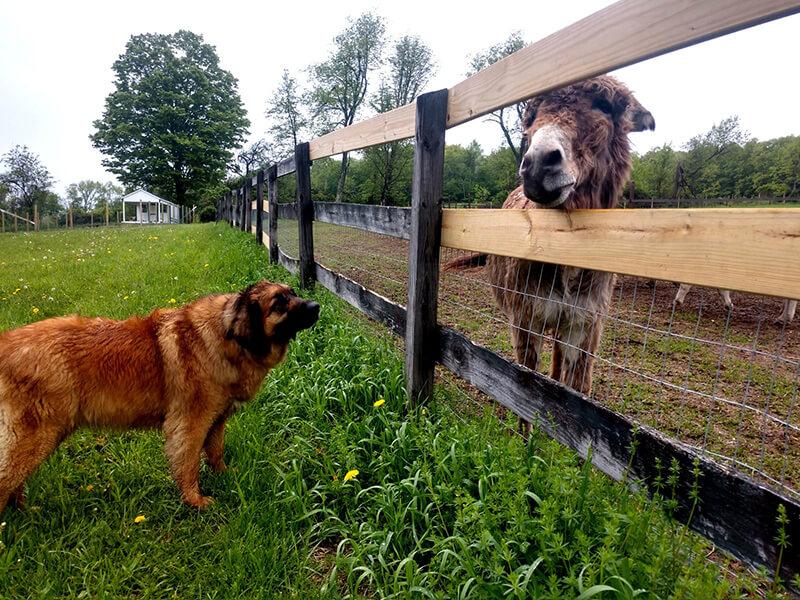 Complicité entre l'âne et le chien confidences à petite distance des premiers acteurs de la ferme